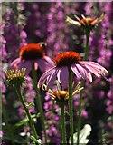 SX9050 : Flowers at Coleton Fishacre by Derek Harper