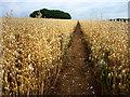 SU6513 : Footpath through oats by Chris Gunns
