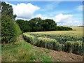 TF3166 : Western boundary of a wheatfield by Christine Johnstone