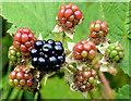 J4582 : Blackberries, Helen's Bay (2013) by Albert Bridge