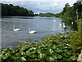 SP4315 : Swans on The Lake at Blenheim by Richard Humphrey