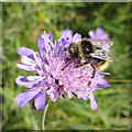 SE7171 : White-tailed bumblebee on scabious by Pauline E
