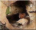 SD1399 : Hazelnut Take-away by Peter Trimming