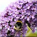 SJ8990 : Bee on Buddleia by Gerald England