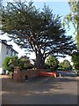SX9292 : Cedar tree in St Leonard's Road, Exeter by David Smith