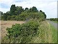 TL1491 : Tree belt near Manor Farm by Richard Humphrey