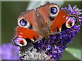 TQ2995 : Peacock Butterfly on Buddleia, London N14 by Christine Matthews
