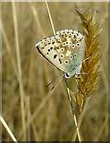 TQ1450 : Butterflies at Ranmore (4): Chalkhill Blue (Lysandra coridon) by Stefan Czapski