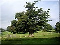 NY9923 : A mature parkland tree by Stanley Howe