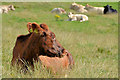 J4157 : Cattle, Saintfield (1) by Albert Bridge