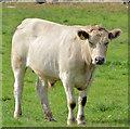 J4157 : Cattle, Saintfield (2) by Albert Bridge