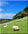 SE8492 : Grazing Sheep Below Horcum Slack by Scott Robinson
