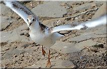 J4774 : Juvenile black-headed gull, Kiltonga, Newtownards (2) by Albert Bridge