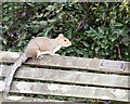 SJ9295 : Squirrel on Mary King's bench by Gerald England