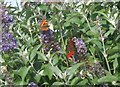 NT9954 : Small tortoiseshell and peacock butterflies at Aldi by Barbara Carr