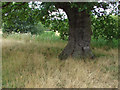 SU8460 : Under the old oak tree by Alan Hunt