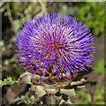 NZ1758 : Globe artichoke flower in walled garden by David P Howard