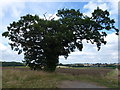 TL1487 : Kenny's Oak near Caldecote by Richard Humphrey