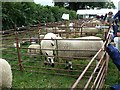 SJ1901 : Berriew Show - Kerry Hill sheep by Penny Mayes