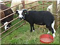 SJ1901 : Berriew Show - Balwen Welsh Mountain ram by Penny Mayes