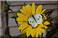 SD3701 : Large White (Pieris brassicae) on sunflower, Maghull by Mike Pennington