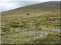 SH4950 : Flowering gorse on mountain slope by Trevor Littlewood