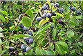 SP4405 : Sloes by the footpath by Steve Daniels