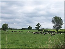 N0625 : A dairy herd on grazing land east of the Belmont Road by Eric Jones