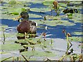 SU8300 : Mallard amid the water lilies by Rob Farrow