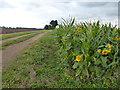 TL2495 : Sunflowers on Richer's Drove near Whittlesey by Richard Humphrey