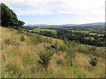 NN9901 : Young woodland on Seamab Hill by Richard Webb