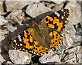 SO1252 : Painted Lady Butterfly, Cregrina, Powys by Christine Matthews