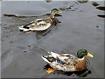 H4572 : A pair of ducks, Omagh by Kenneth  Allen