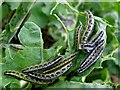H4672 : Large White (Pieris brassicae) Caterpillars, Omagh by Kenneth  Allen