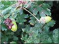 TQ7296 : Knopper Gall on acorn, Crowsheath Community Woodland, Downham by Roger Jones