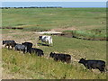 TF3638 : Cattle on the edge of the salt marsh by Mat Fascione