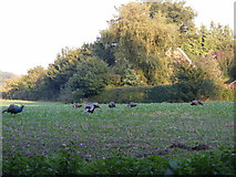 TM3569 : Peacocks grazing on the Church Land Trust field by Geographer