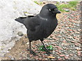 SH7882 : Angry Jackdaw! by Dave Pickersgill