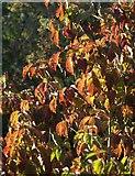 SX9066 : Cherry leaves, former Barton landfill by Derek Harper
