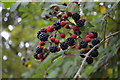 TQ6031 : Blackberries on Partridges Lane by Julian P Guffogg