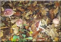 SP9107 : Mycena pura (Lilac bonnet) by Rob Farrow