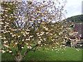 SO4381 : White-Fruited Rowan by Gordon Griffiths