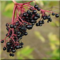TL0393 : Elder Berries by Jonathan Billinger
