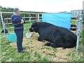 SJ0309 : Welsh Black bull at Llanfair Show by Penny Mayes