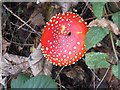 SY0482 : Fly Agaric (Amanita muscaria) in the Leeford plantations by David Smith
