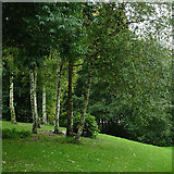 SO9698 : Birch trees in Willenhall, Walsall by Roger  Kidd