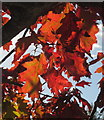 SX8966 : Oak leaves, The Willows by Derek Harper