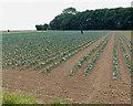 TF4449 : Farmland south of Sea Lane by Mat Fascione