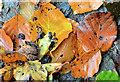 J4078 : Autumn leaves, Glenlyon, Holywood (2) by Albert Bridge