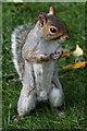 TQ2780 : Grey squirrel in Hyde Park by Doug Lee